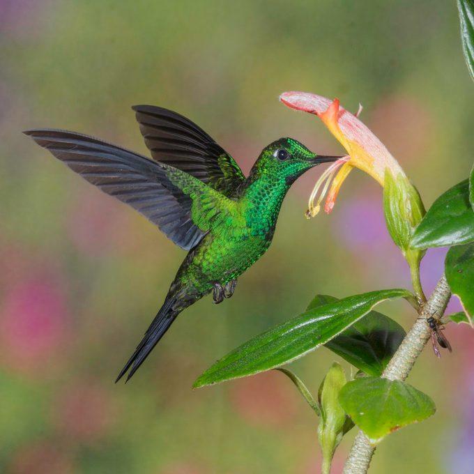 hummingbirds of costa rica