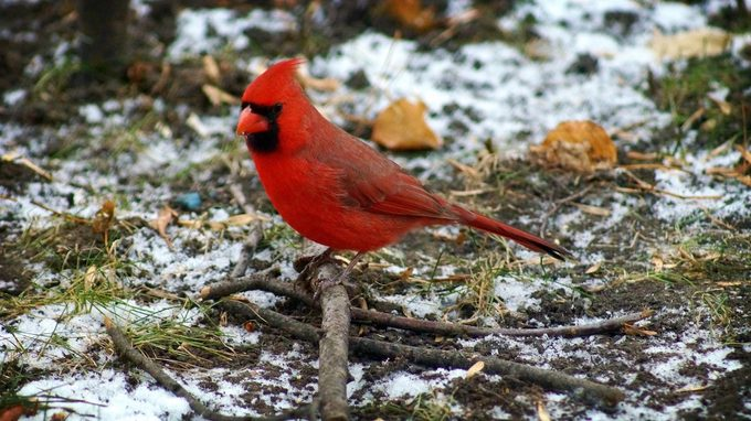 cardinal meaning and symbolism