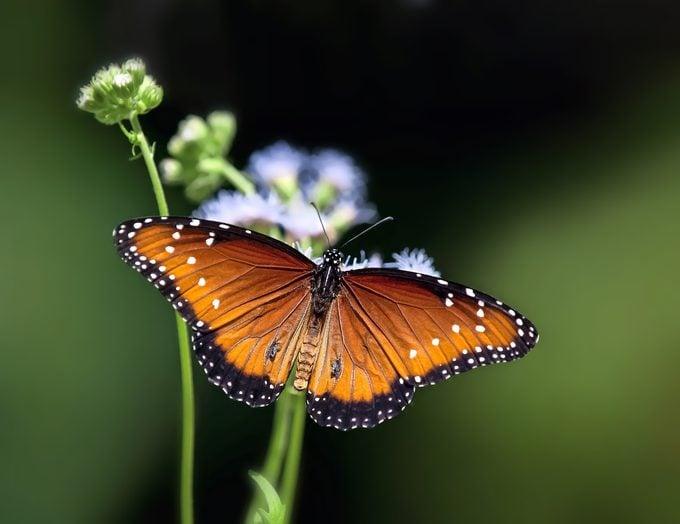 Queen Butterfly (danaus Gilippus) Resting On Flowers