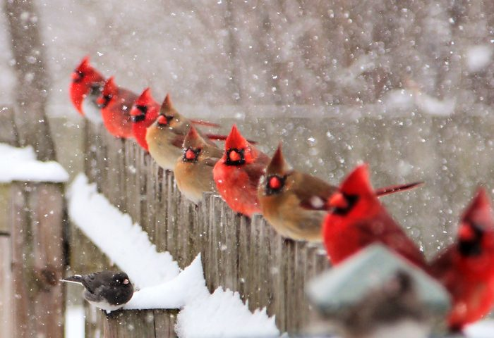 cardinals on fence