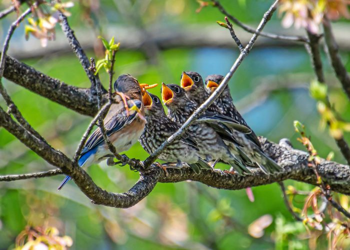 A female eastern bluebird feeds chicks that are lined up on a branch.