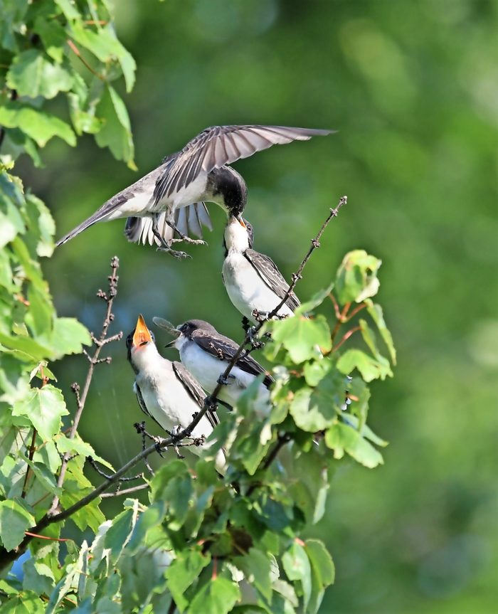 An eastern kingbird swoops in to feed her young.