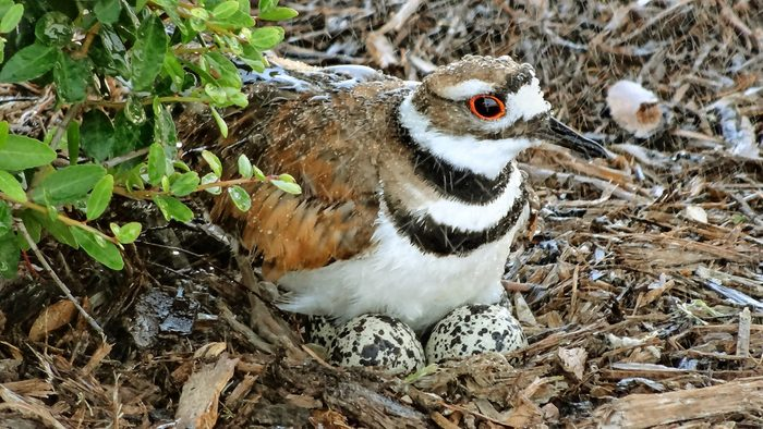 A female killdeer sits on her nest on the ground as it rains.