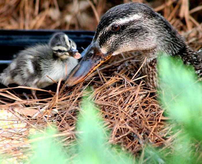 A female mallard sits in her nest with a duckling.