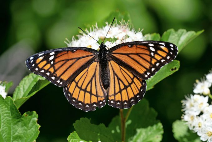 Viceroy butterfly feeding on nectar from a wildflower.