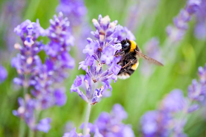 A bumblebee on a lavender plant.