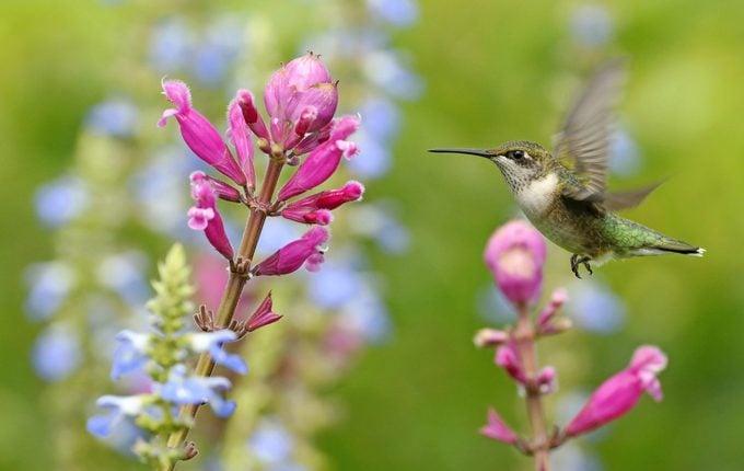Hummingbird Approaches Flower