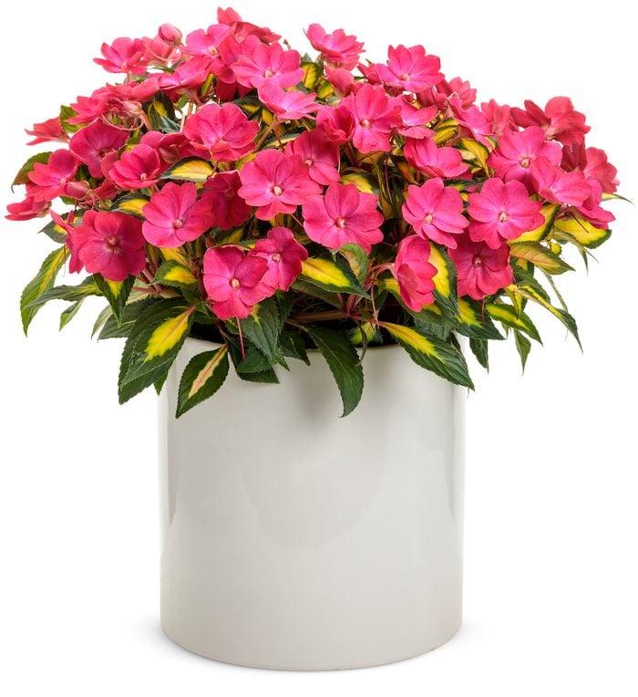 Compact Tropical Rose SunPatiens