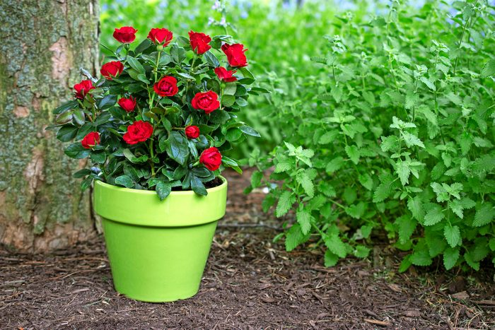 flowers for pots, Petite Knockout Container