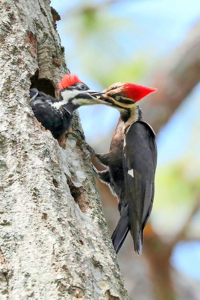 A young pileated woodpecker sticks its head out of the nest to be fed.