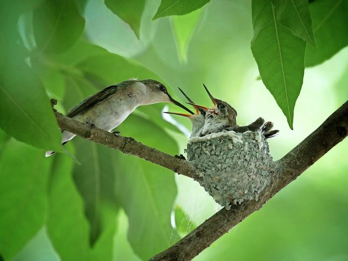 Two ruby-throated hummingbird chicks sitting in a nest waiting for their mom to feed them.