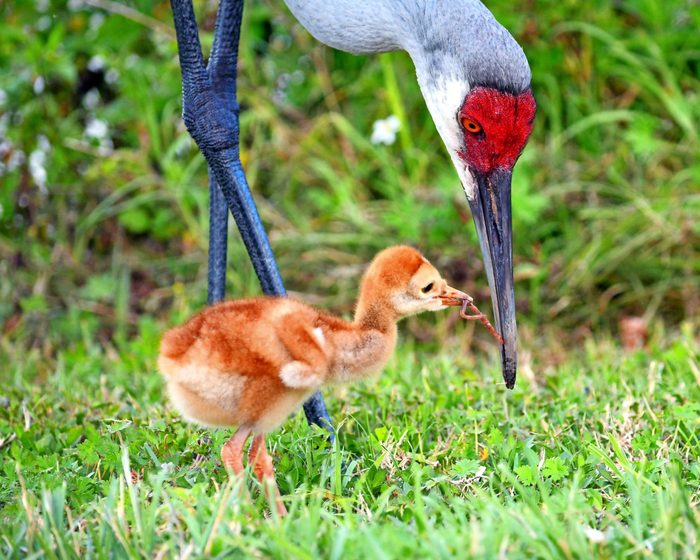bird mothers, A sandhill crane colt foraging for worms in the grass with its mother.