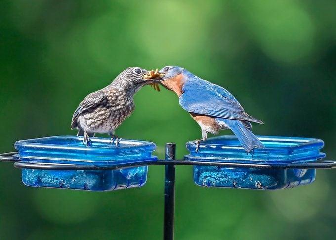 An eastern bluebird feeds its offspring a bunch of mealworms.