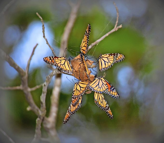 A group of monarch butterflies perch on a dried leaf in a star formation.