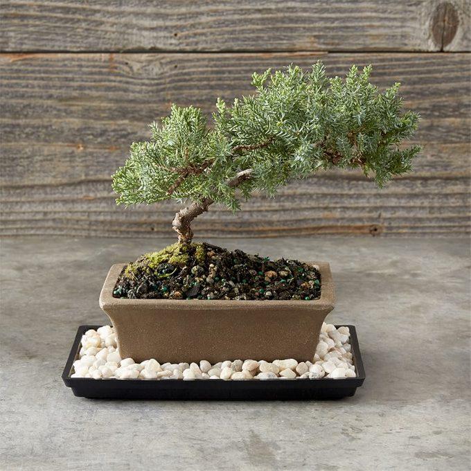 dwarf juniper bonsai