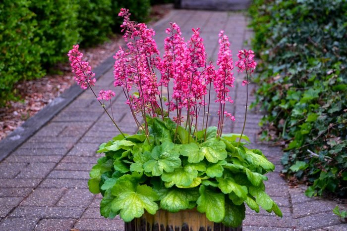A pot of bright pink coral bells flowers near a pathway.