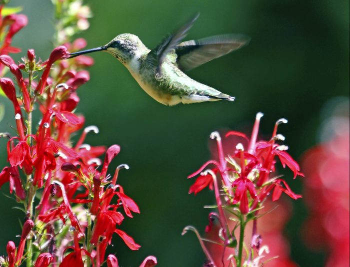 A ruby-throated hummingbird hovers over a cardinal flower, sipping its nectar.