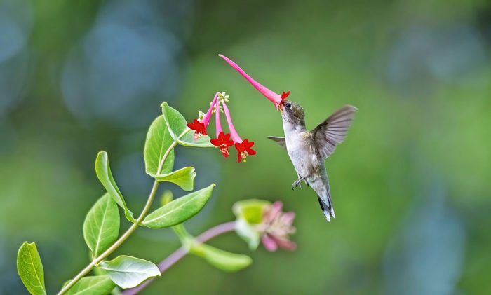 A ruby-throated hummingbird flying around with a trumpet honeysuckle bloom on its beak.