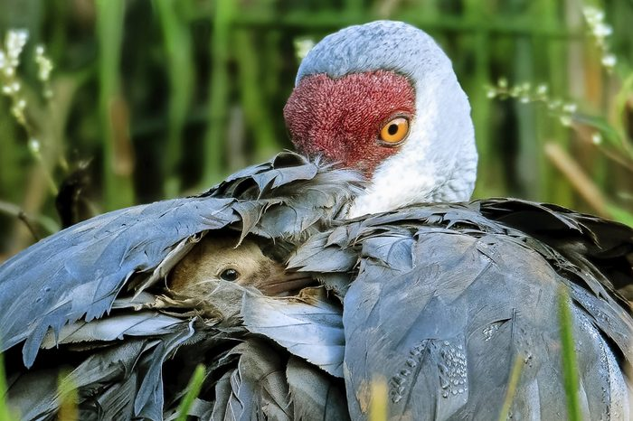 A newly hatched sandhill crane colt pokes its head out of its mother's feathers.