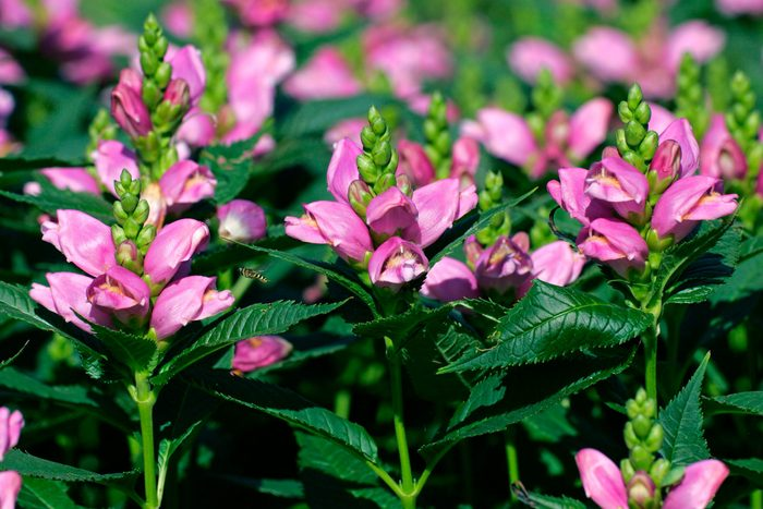 A group of pink turtlehead plants.