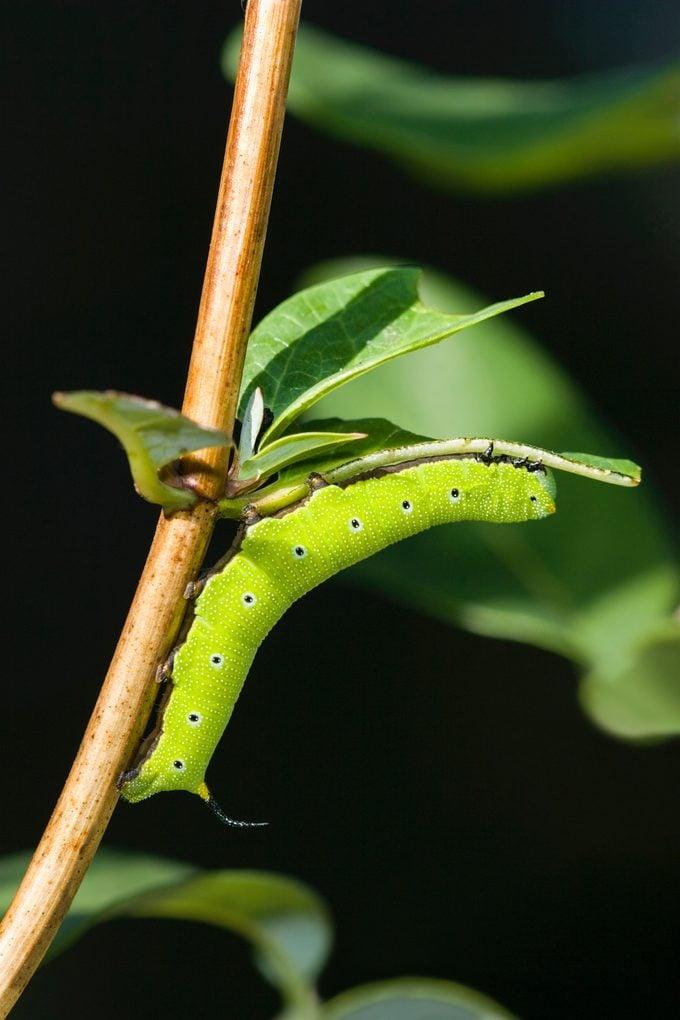 hummingbird moth caterpillar
