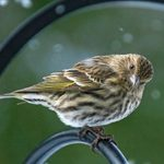 Pine Siskin vs Goldfinch: How to Tell the Difference