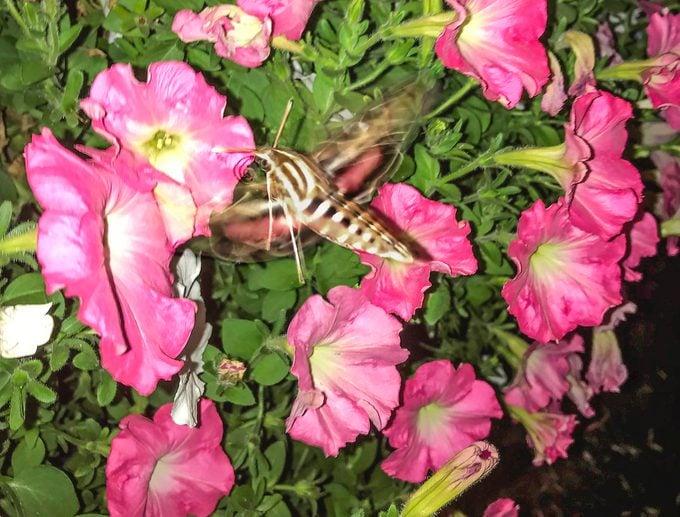 moth that looks like a hummingbird