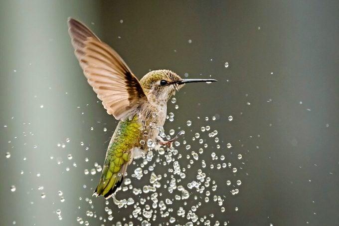 hummingbird mister