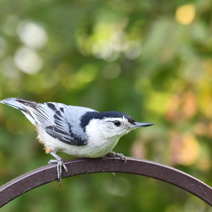 black and white birds, nuthatch