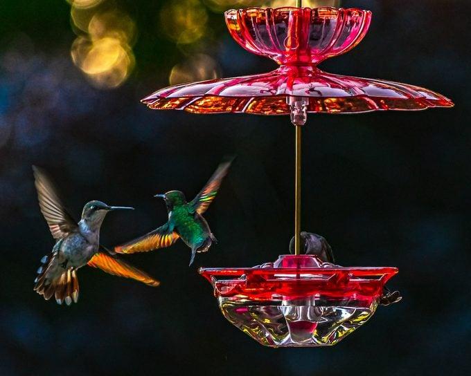 hummingbird migration facts