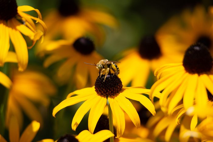 bee on black-eyed susan flowers
