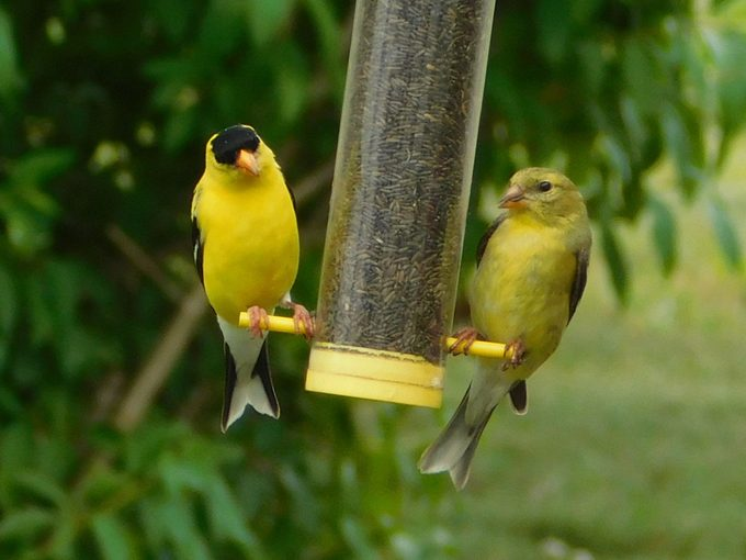 male and female American goldfinch