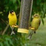 American Goldfinch: The Golden Bird