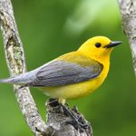 25 Small Yellow Birds You Should Know