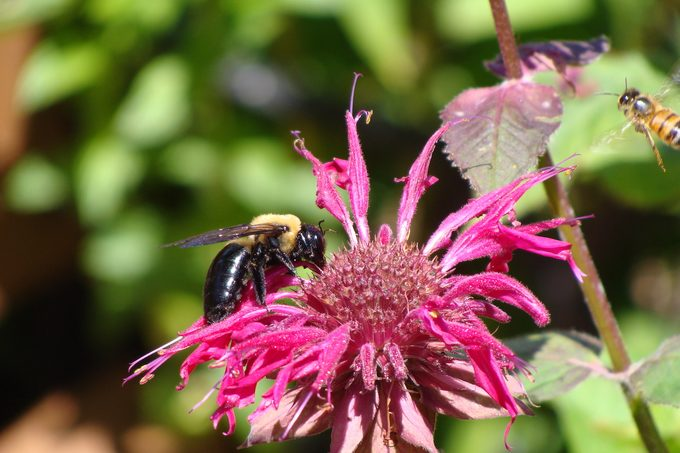 bee balm, flowers for bees