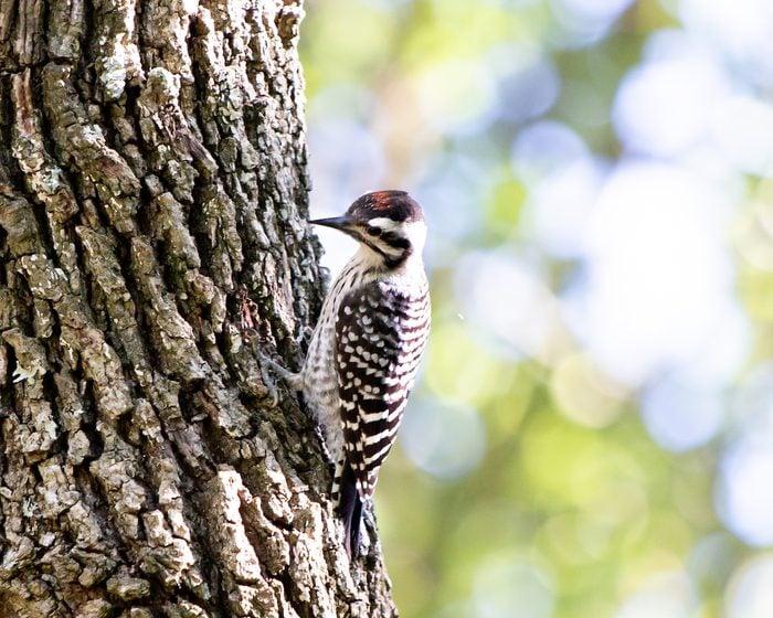 ladder backed woodpecker
