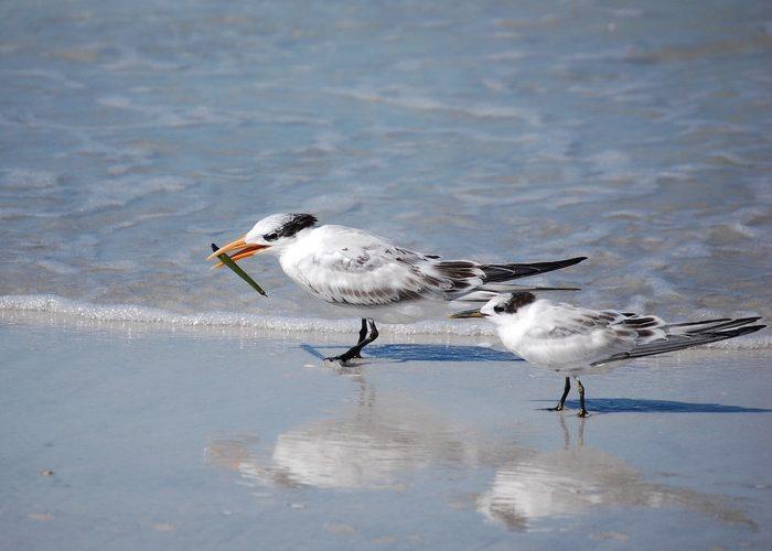 royal tern, black and white birds