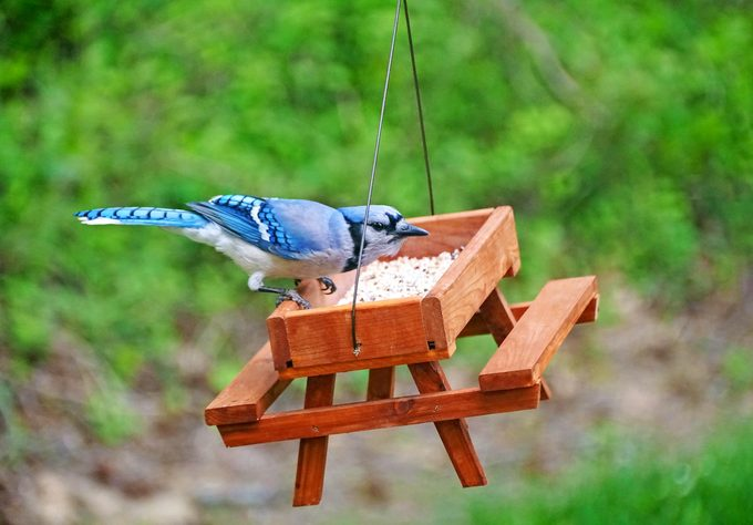 A Beautiful Bluejay Eating Seeds On A Wooden Picnic Table Bird Feeder