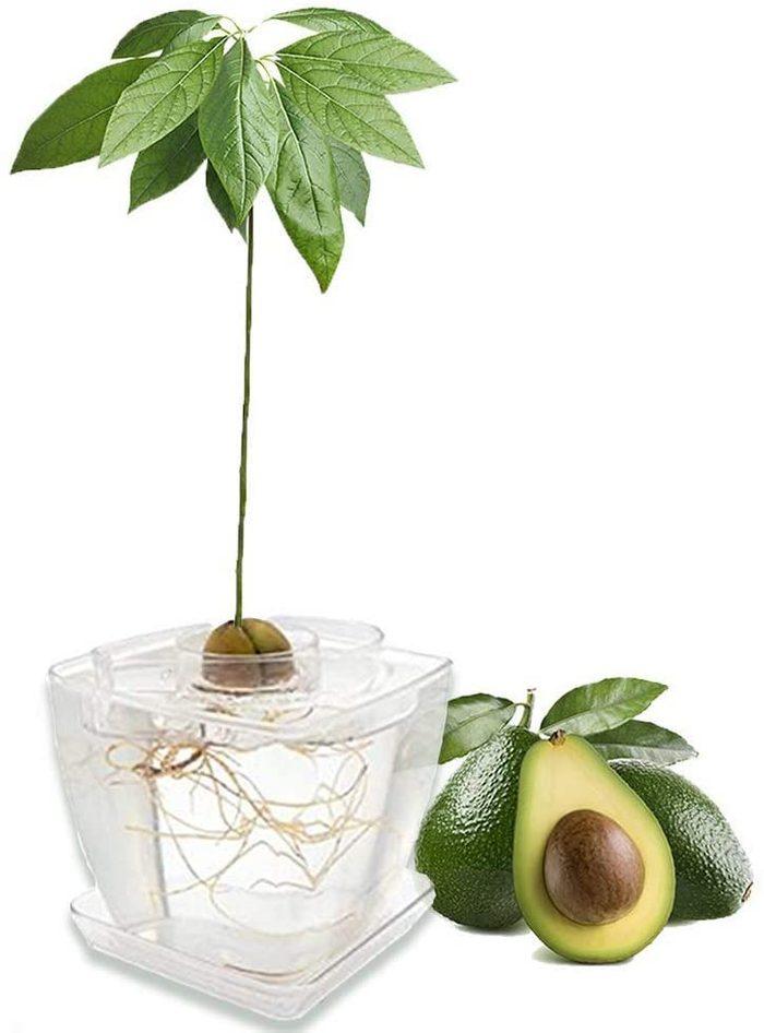 avocado tree kit
