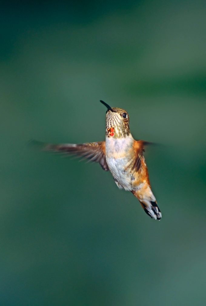 Allens Hummingbirds Selaphorus Sasin Are Diminutive Highly Active Migratory Songbirds Of The Western United States
