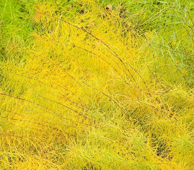 Amsonia Hubrichtii In Autumn Color
