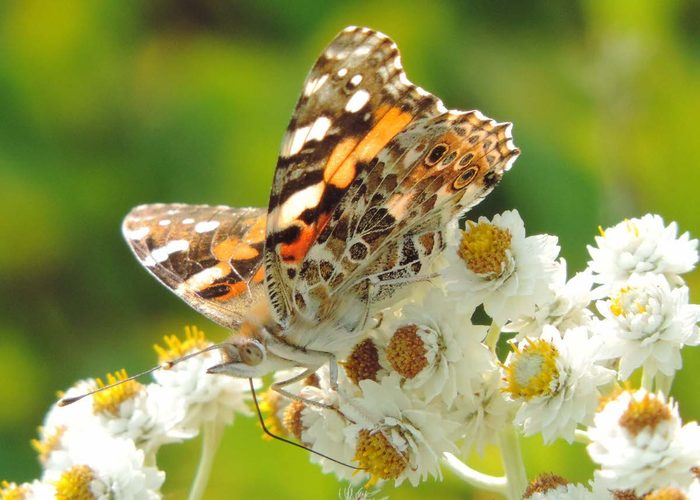pearly everlasting, butterfly host plants