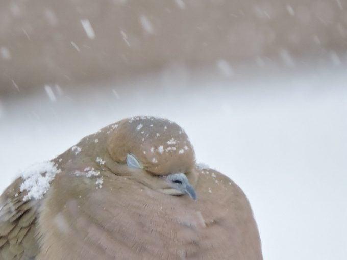 mourning dove sleeping