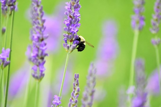 Honeybee Busy At Work On Native Ny Lavender