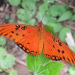 Myths and Facts About Butterfly Host Plants