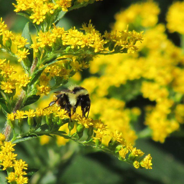 bee on goldenrod flowers