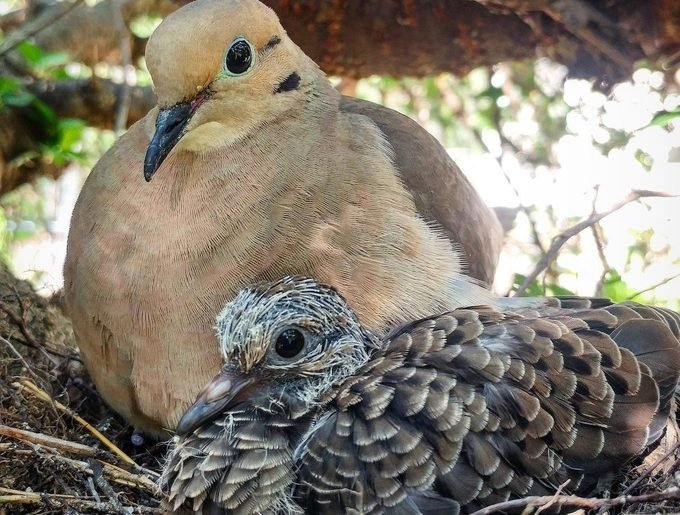 baby mourning dove in nest
