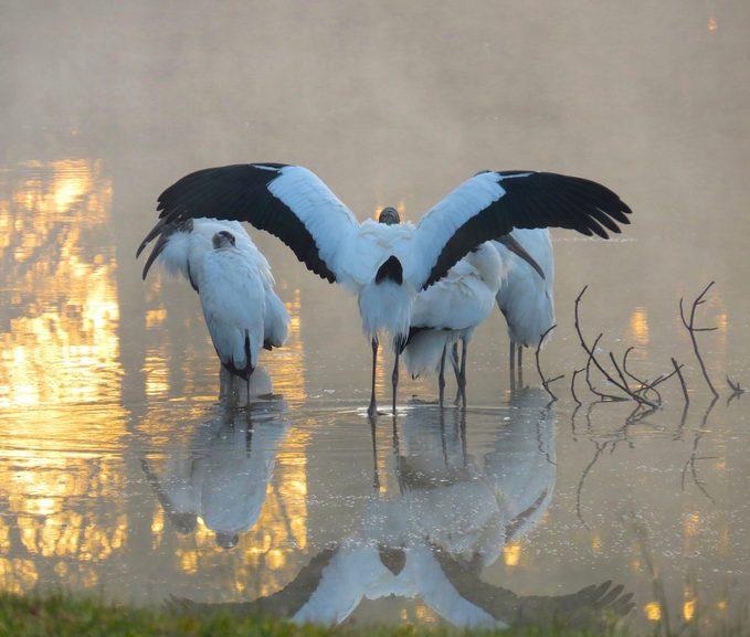 wood stork, black and white birds