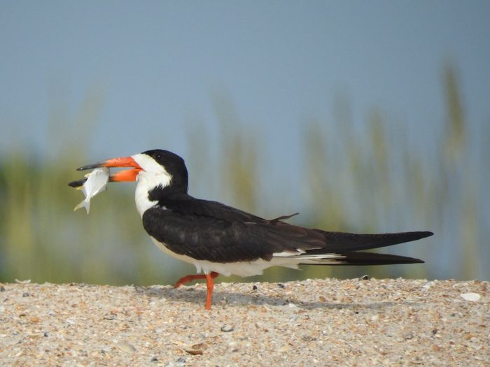 black skimmer, black and white birds