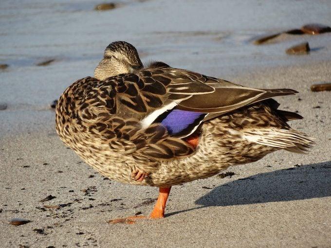 mallard duck napping